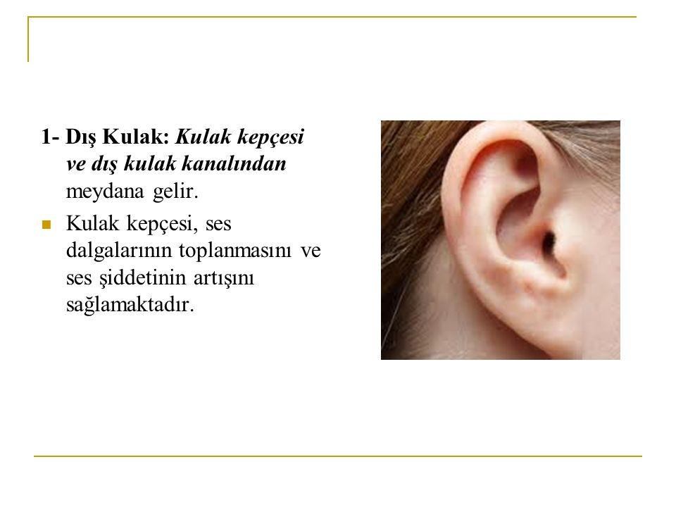 1- Dış Kulak: Kulak kepçesi ve dış kulak kanalından meydana gelir.
