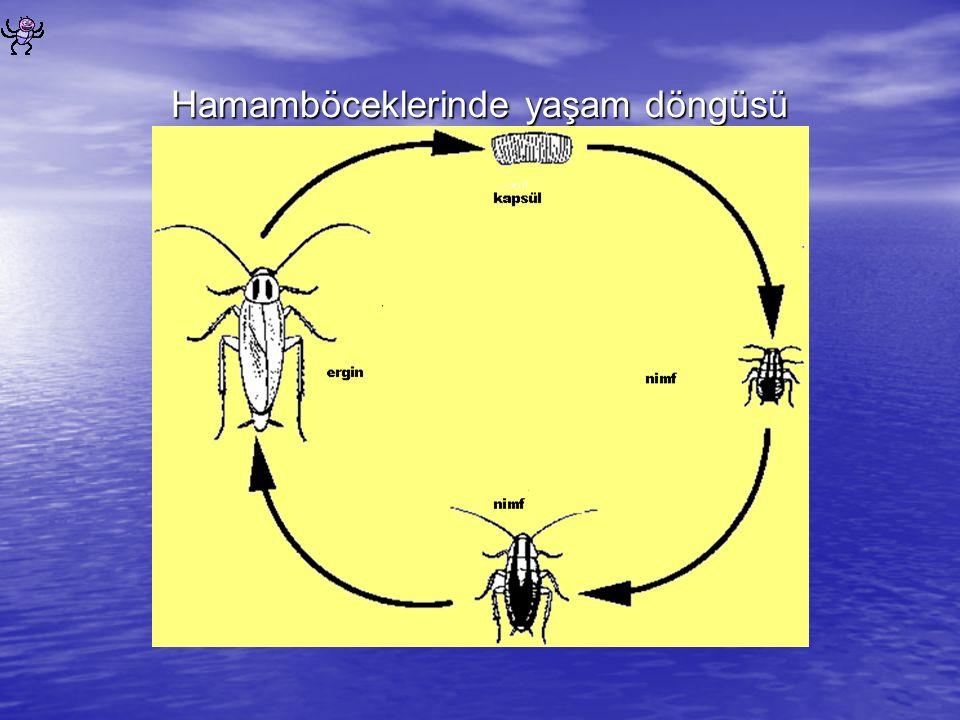 Hamamböceklerinde yaşam döngüsü