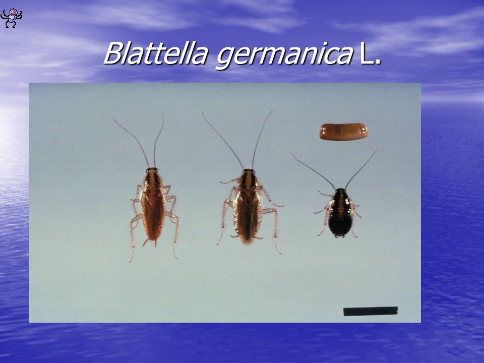 Blattella germanica L.