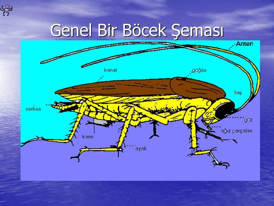 Genel Bir Böcek Şeması