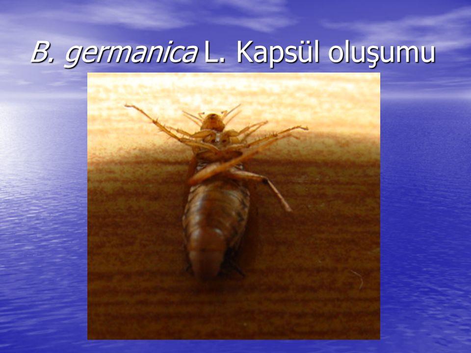 B. germanica L. Kapsül oluşumu