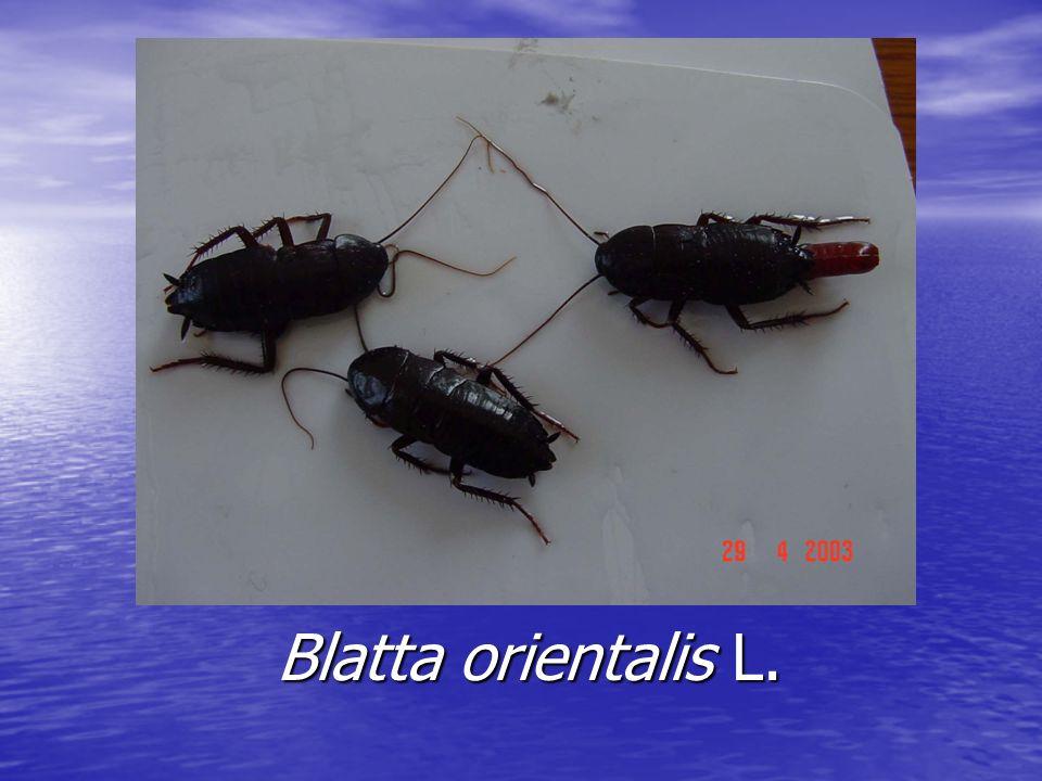 Blatta orientalis L.