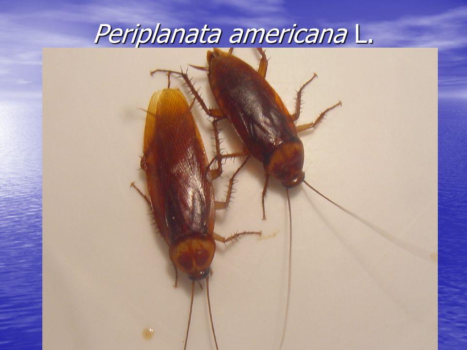 Periplanata americana L.