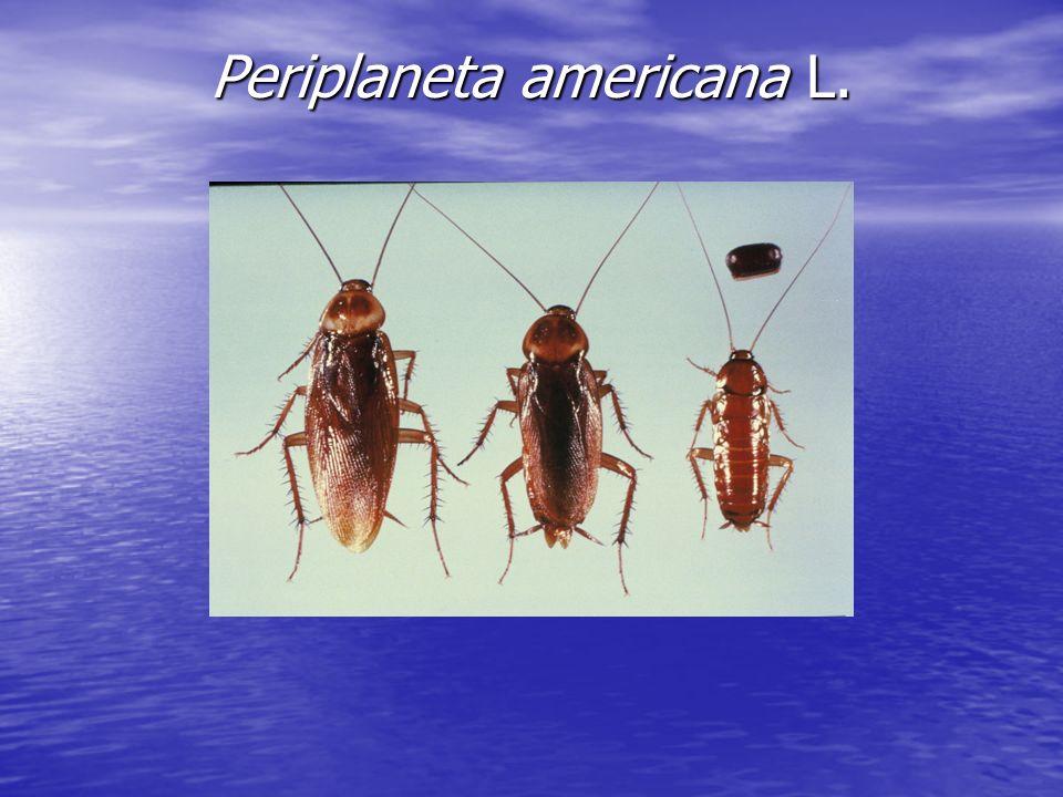 Periplaneta americana L.