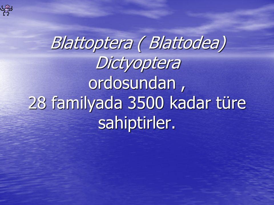 Blattoptera ( Blattodea) Dictyoptera ordosundan , 28 familyada 3500 kadar türe sahiptirler.