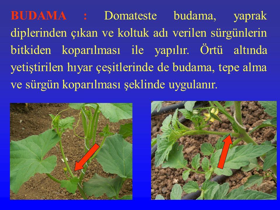 BUDAMA : Domateste budama, yaprak diplerinden çıkan ve koltuk adı verilen sürgünlerin bitkiden koparılması ile yapılır.