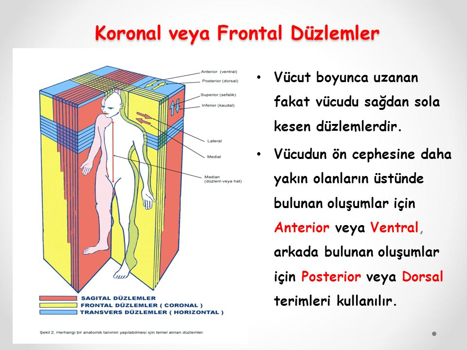 Koronal veya Frontal Düzlemler