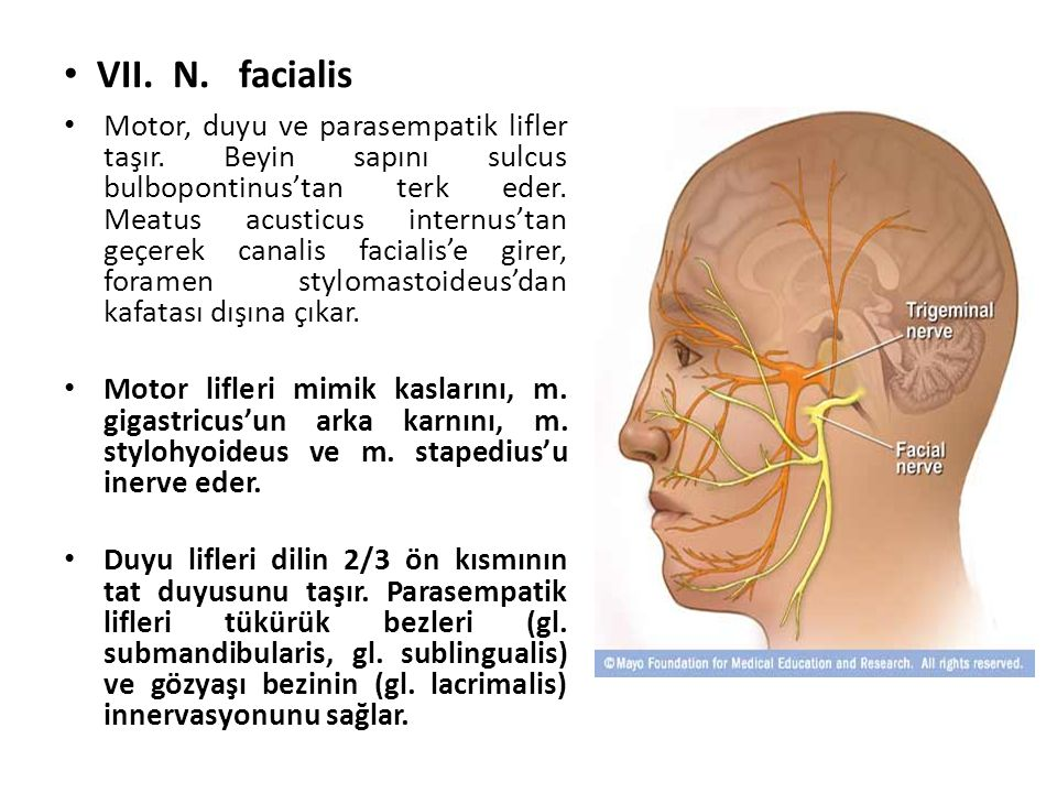 VII. N. facialis