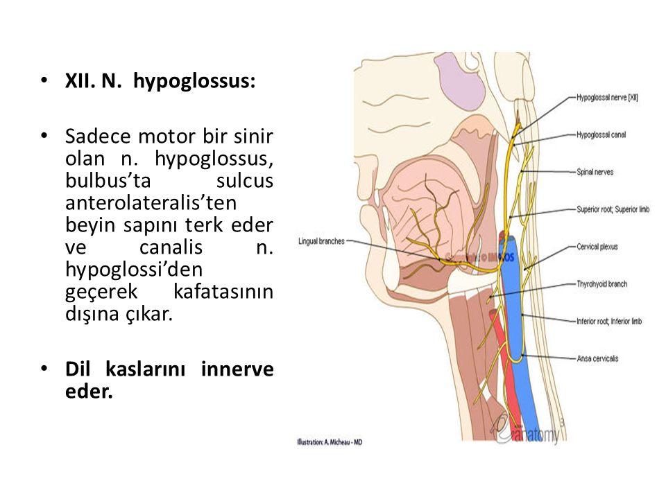 XII. N. hypoglossus: