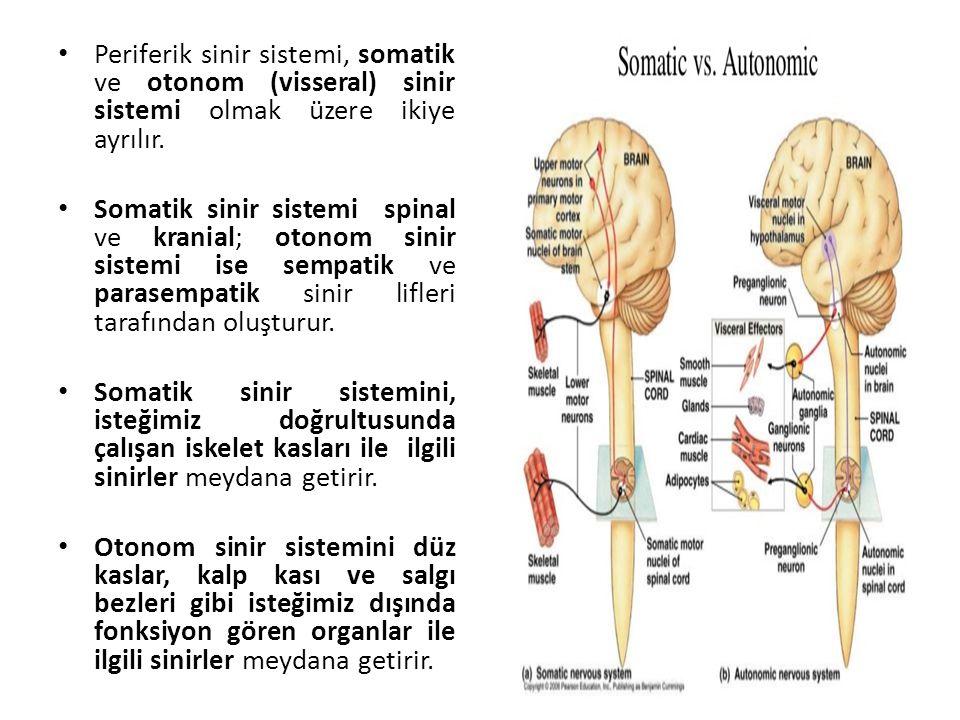 Periferik sinir sistemi, somatik ve otonom (visseral) sinir sistemi olmak üzere ikiye ayrılır.