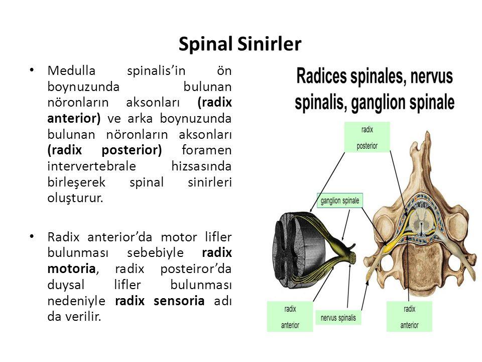 Spinal Sinirler