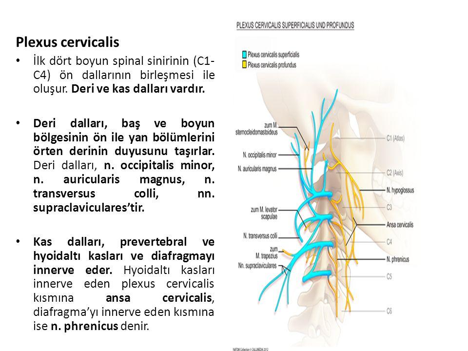 Plexus cervicalis İlk dört boyun spinal sinirinin (C1-C4) ön dallarının birleşmesi ile oluşur. Deri ve kas dalları vardır.