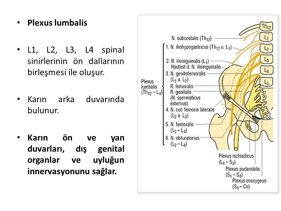 Plexus lumbalis L1, L2, L3, L4 spinal sinirlerinin ön dallarının birleşmesi ile oluşur. Karın arka duvarında bulunur.