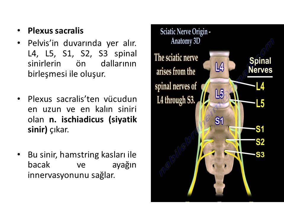 Plexus sacralis Pelvis'in duvarında yer alır. L4, L5, S1, S2, S3 spinal sinirlerin ön dallarının birleşmesi ile oluşur.
