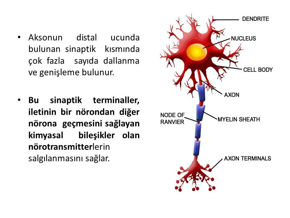 Aksonun distal ucunda bulunan sinaptik kısmında çok fazla sayıda dallanma ve genişleme bulunur.