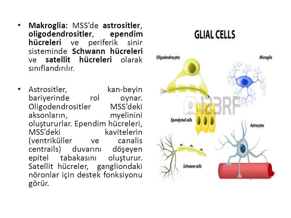 Makroglia: MSS'de astrositler, oligodendrositler, ependim hücreleri ve periferik sinir sisteminde Schwann hücreleri ve satellit hücreleri olarak sınıflandırılır.