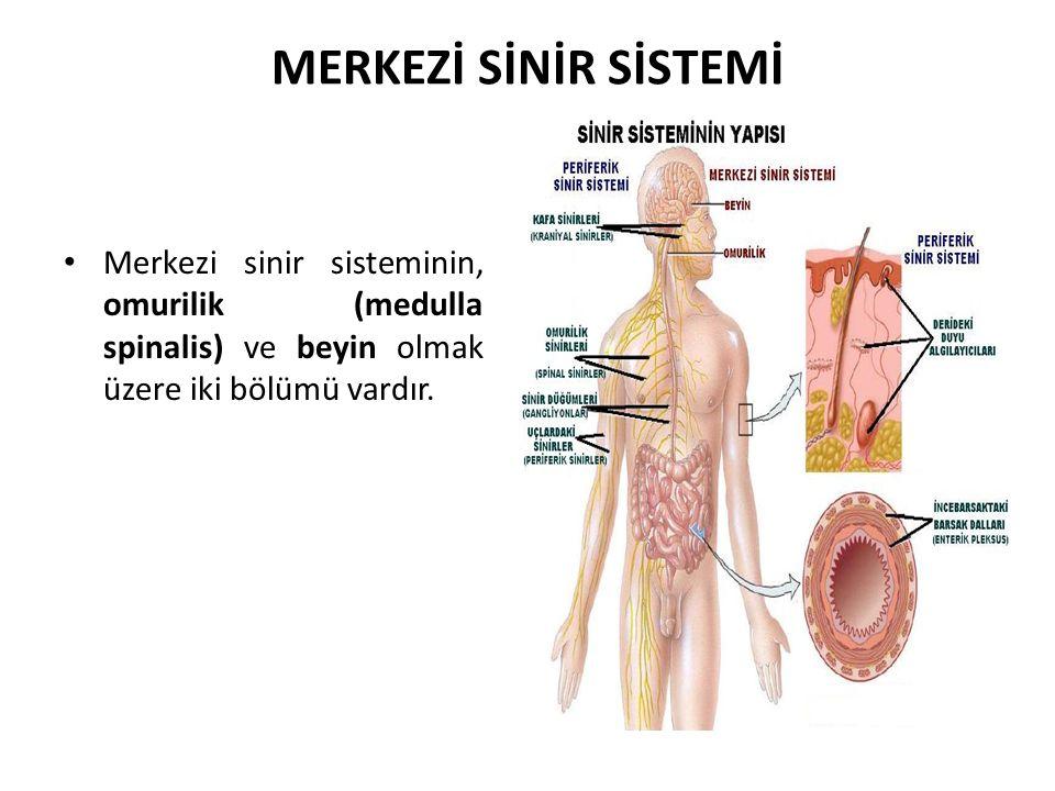 MERKEZİ SİNİR SİSTEMİ Merkezi sinir sisteminin, omurilik (medulla spinalis) ve beyin olmak üzere iki bölümü vardır.