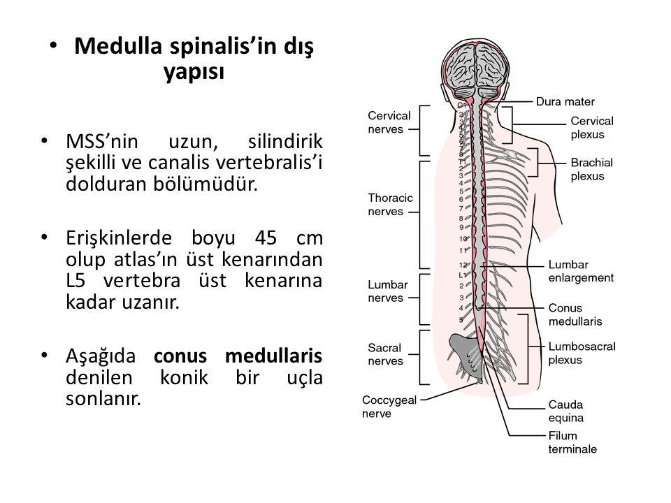 Medulla spinalis'in dış yapısı