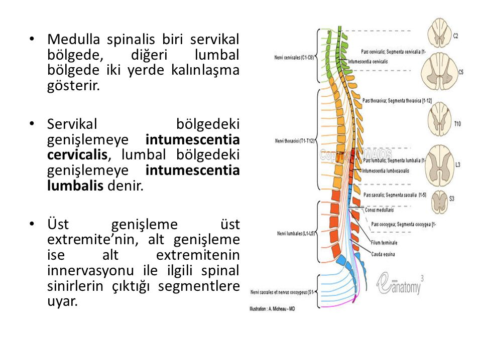 Medulla spinalis biri servikal bölgede, diğeri lumbal bölgede iki yerde kalınlaşma gösterir.