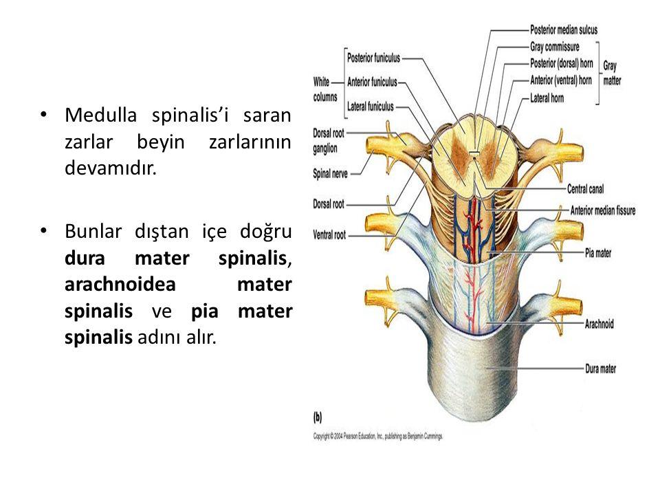 Medulla spinalis'i saran zarlar beyin zarlarının devamıdır.