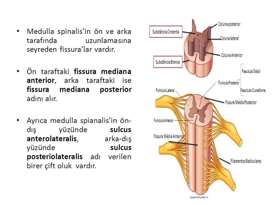 Medulla spinalis'in ön ve arka tarafında uzunlamasına seyreden fissura'lar vardır.