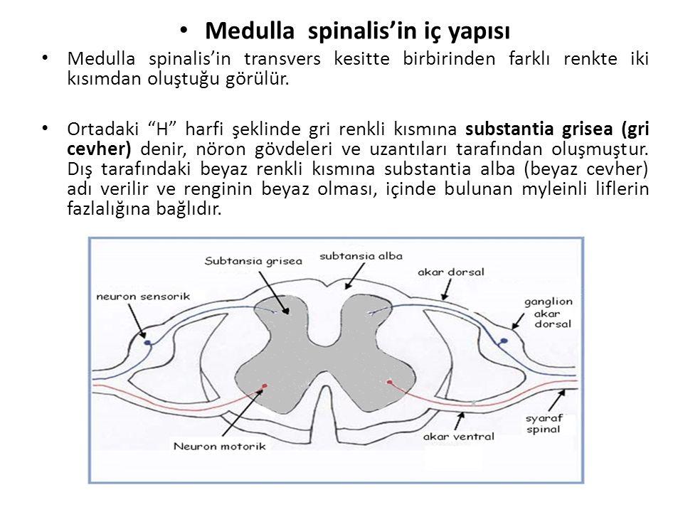 Medulla spinalis'in iç yapısı