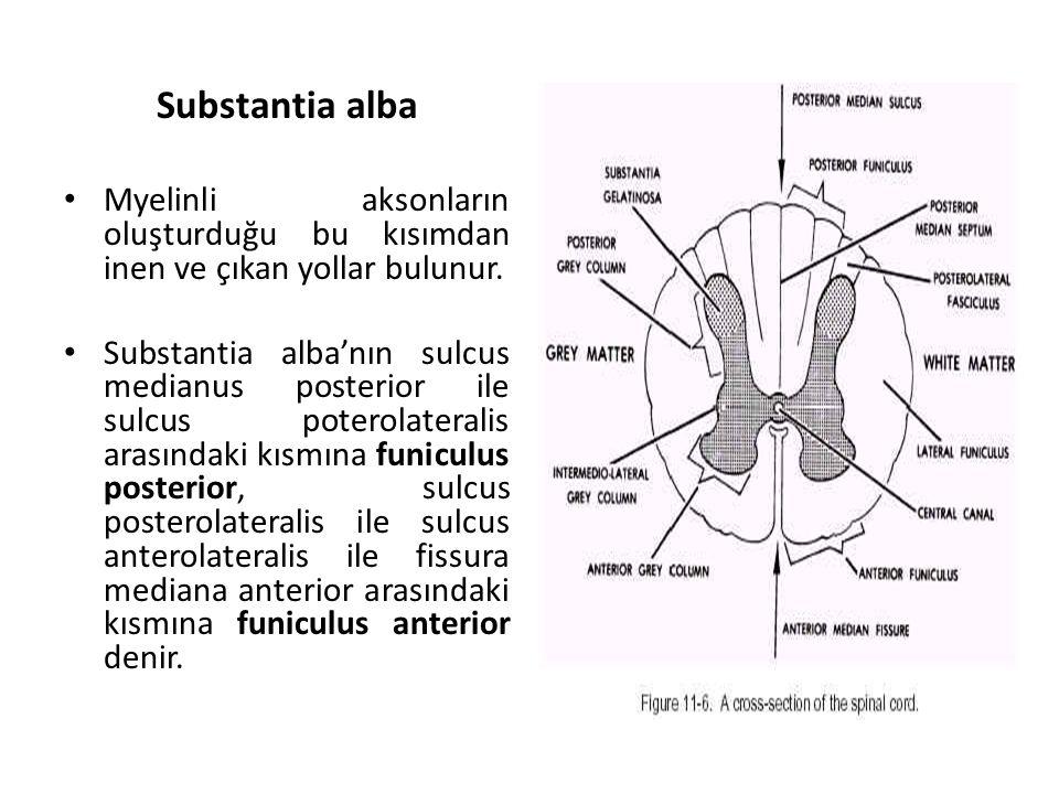 Substantia alba Myelinli aksonların oluşturduğu bu kısımdan inen ve çıkan yollar bulunur.