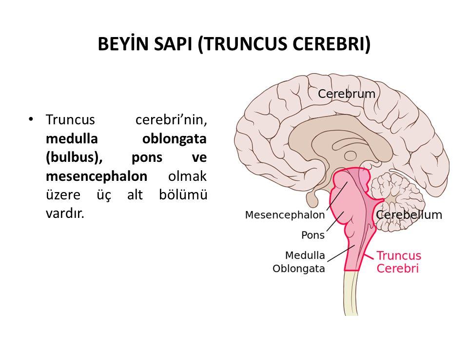 BEYİN SAPI (TRUNCUS CEREBRI)