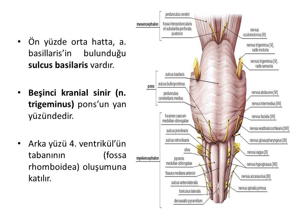 Ön yüzde orta hatta, a. basillaris'in bulunduğu sulcus basilaris vardır.