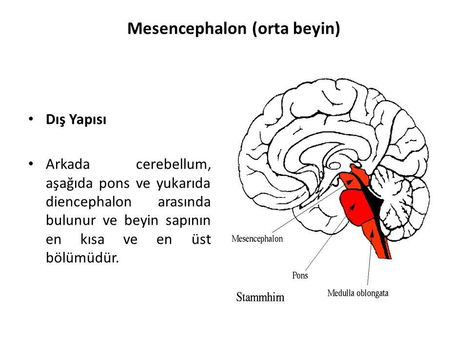 Mesencephalon (orta beyin)