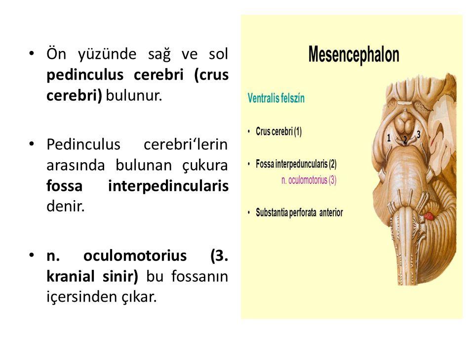 Ön yüzünde sağ ve sol pedinculus cerebri (crus cerebri) bulunur.