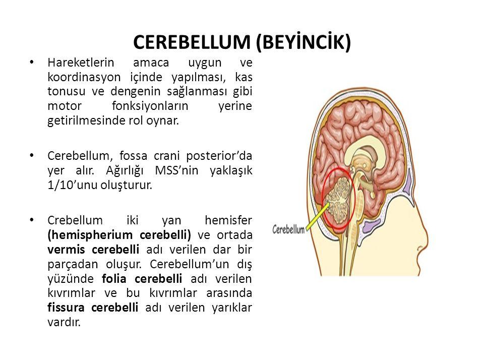CEREBELLUM (BEYİNCİK)