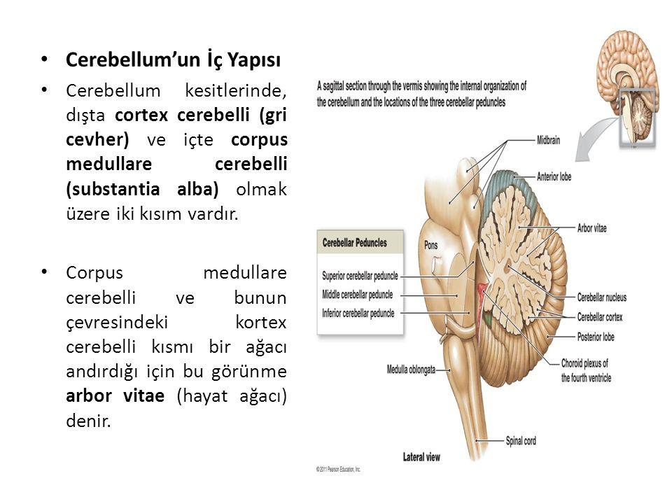 Cerebellum'un İç Yapısı