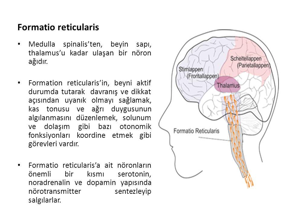 Formatio reticularis Medulla spinalis'ten, beyin sapı, thalamus'u kadar ulaşan bir nöron ağıdır.