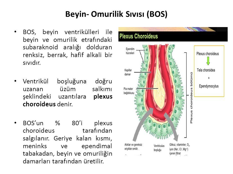 Beyin- Omurilik Sıvısı (BOS)