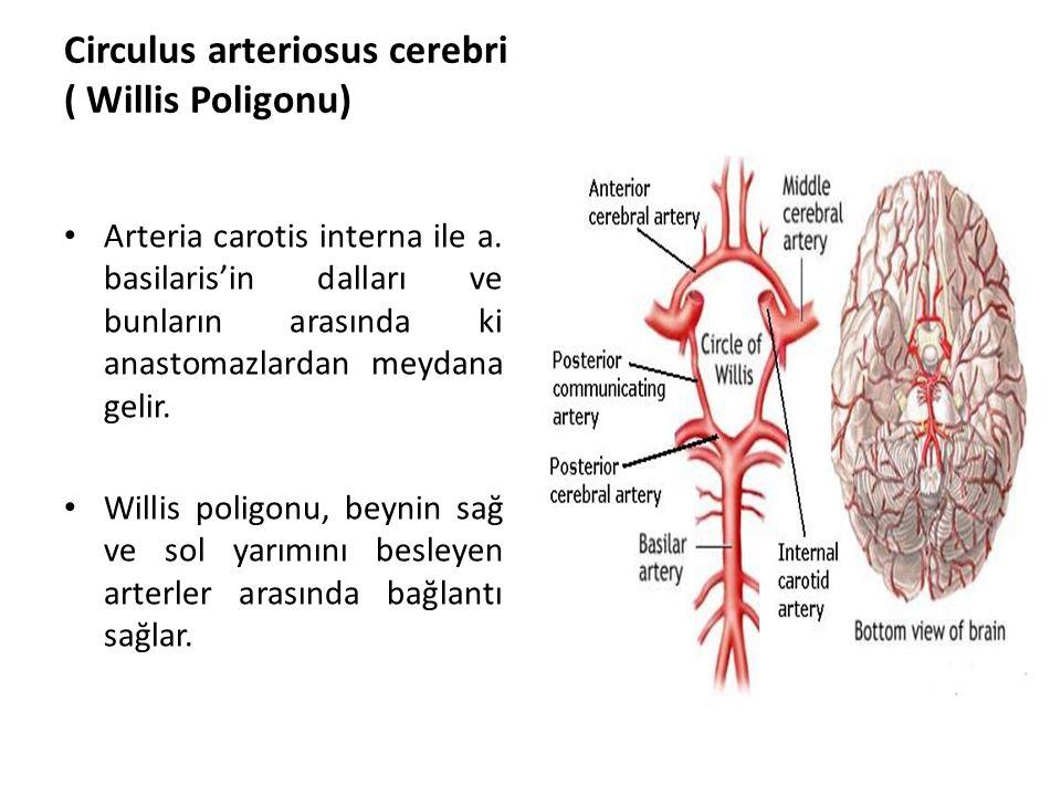 Circulus arteriosus cerebri ( Willis Poligonu)