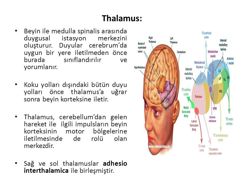 Thalamus: