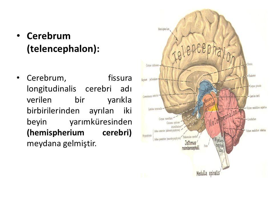 Cerebrum (telencephalon):