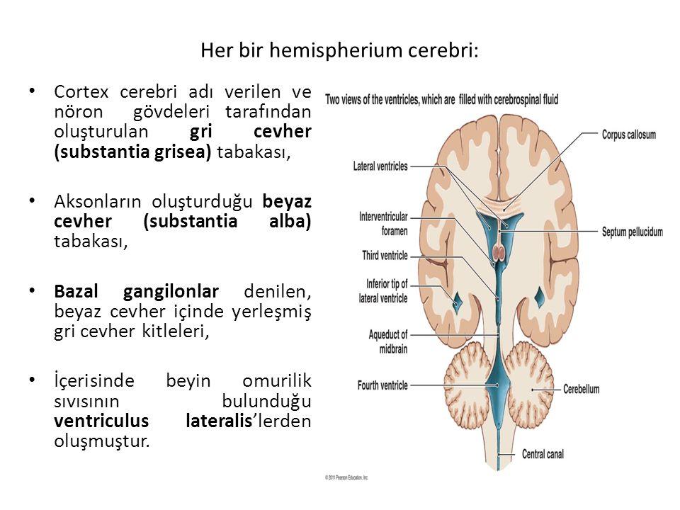 Her bir hemispherium cerebri:
