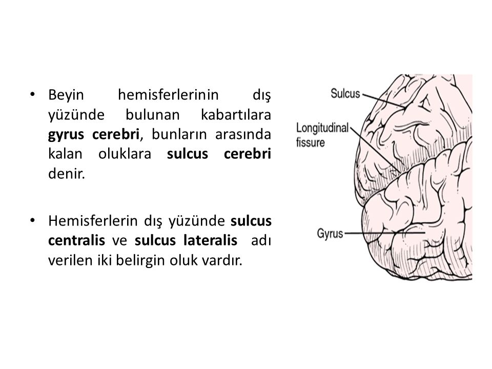 Beyin hemisferlerinin dış yüzünde bulunan kabartılara gyrus cerebri, bunların arasında kalan oluklara sulcus cerebri denir.