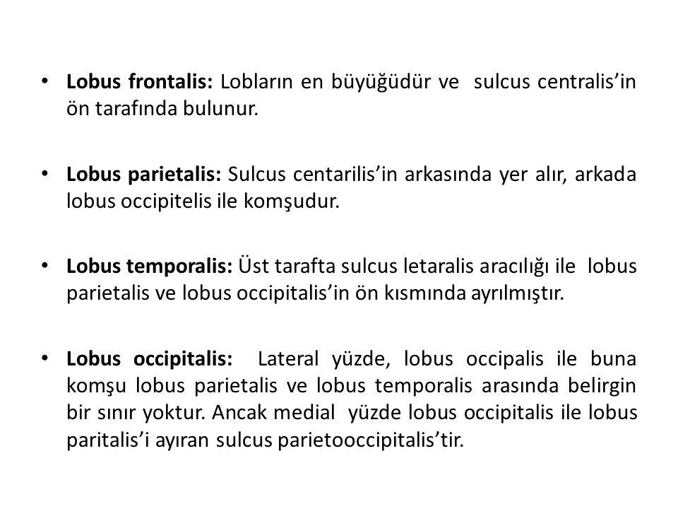 Lobus frontalis: Lobların en büyüğüdür ve sulcus centralis'in ön tarafında bulunur.
