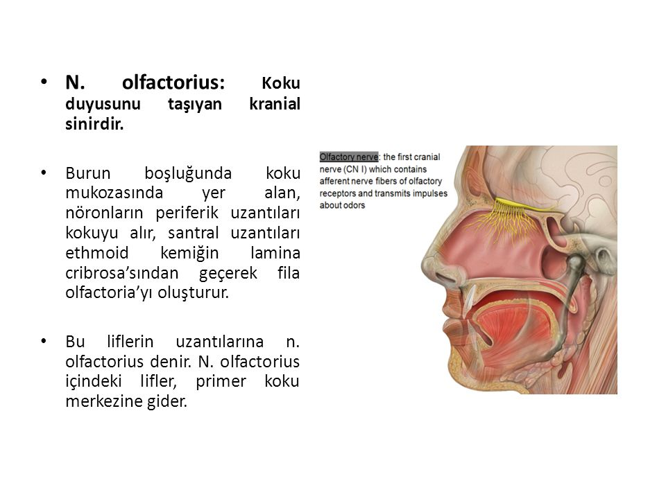 N. olfactorius: Koku duyusunu taşıyan kranial sinirdir.