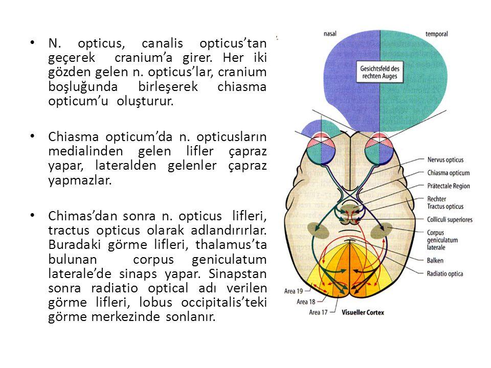 N. opticus, canalis opticus'tan geçerek cranium'a girer