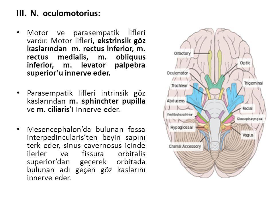 III. N. oculomotorius: