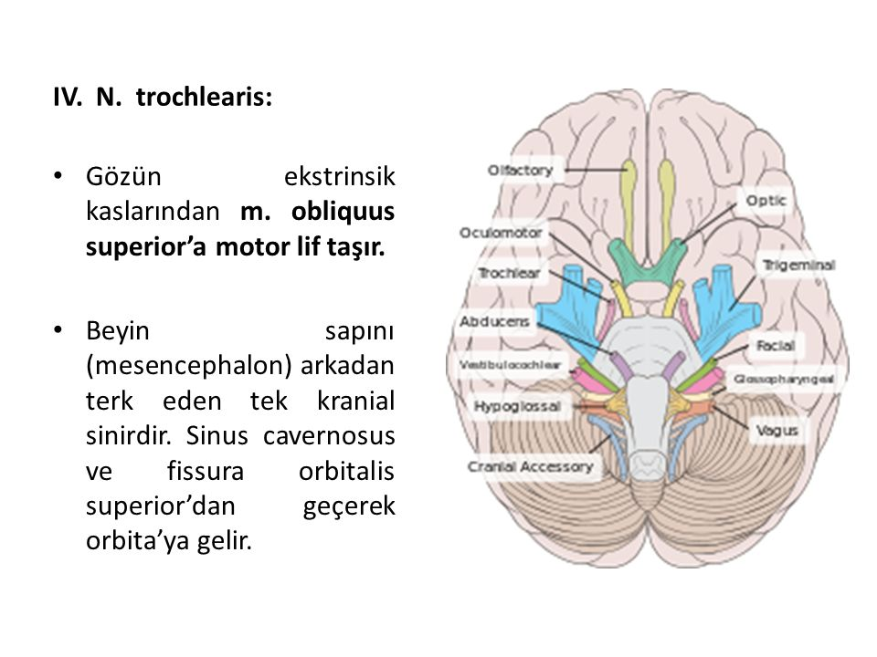 IV. N. trochlearis: Gözün ekstrinsik kaslarından m. obliquus superior'a motor lif taşır.