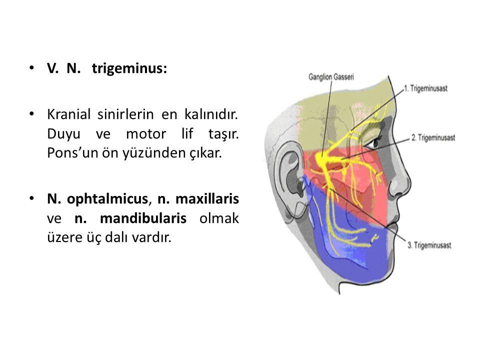 V. N. trigeminus: Kranial sinirlerin en kalınıdır. Duyu ve motor lif taşır. Pons'un ön yüzünden çıkar.