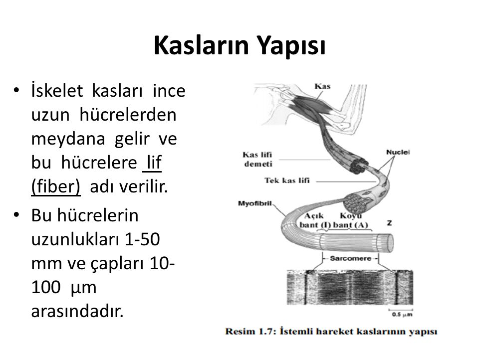 Kasların Yapısı İskelet kasları ince uzun hücrelerden meydana gelir ve bu hücrelere lif (fiber) adı verilir.