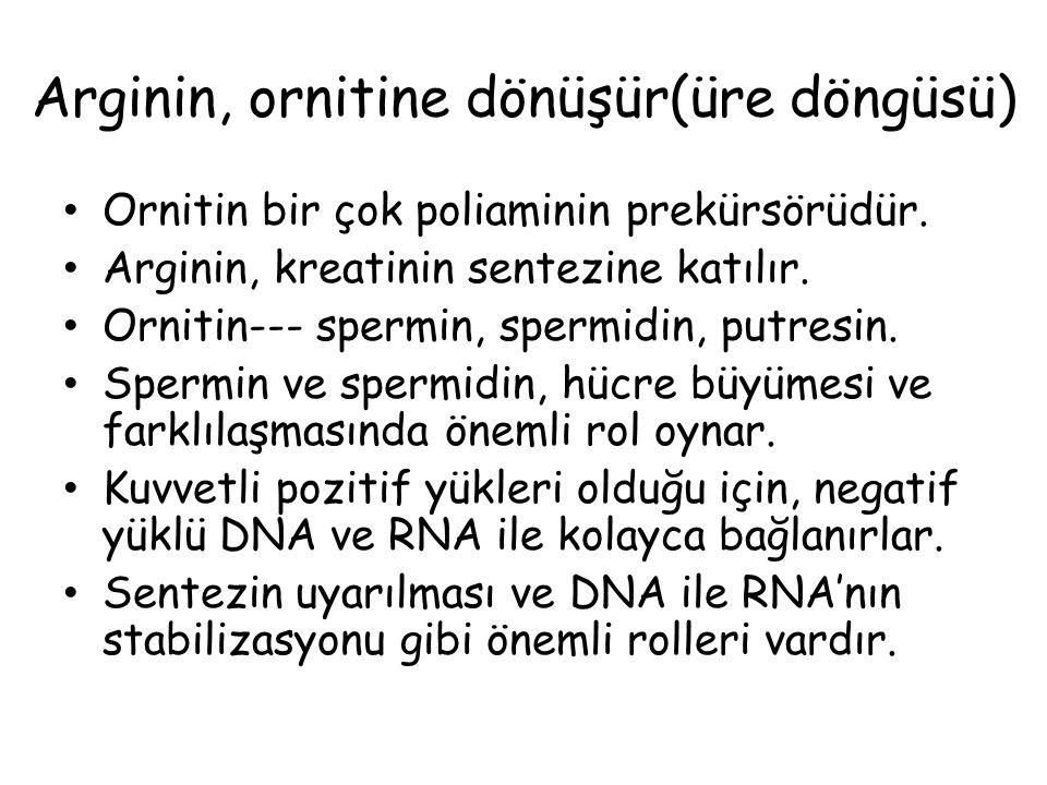 Arginin, ornitine dönüşür(üre döngüsü)