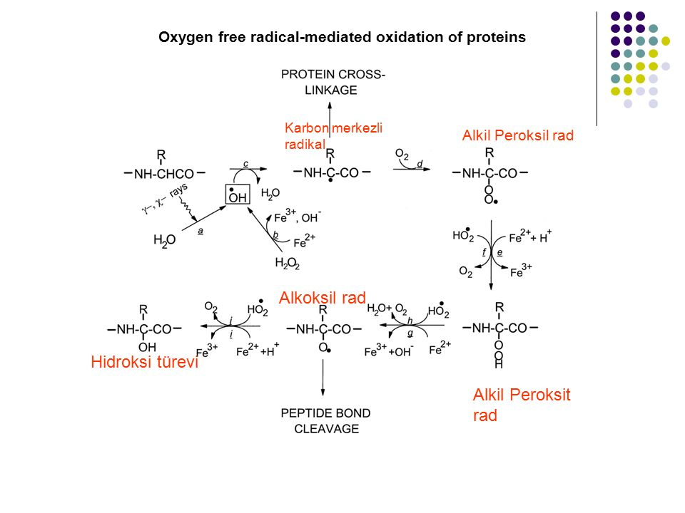 Oxygen free radical-mediated oxidation of proteins