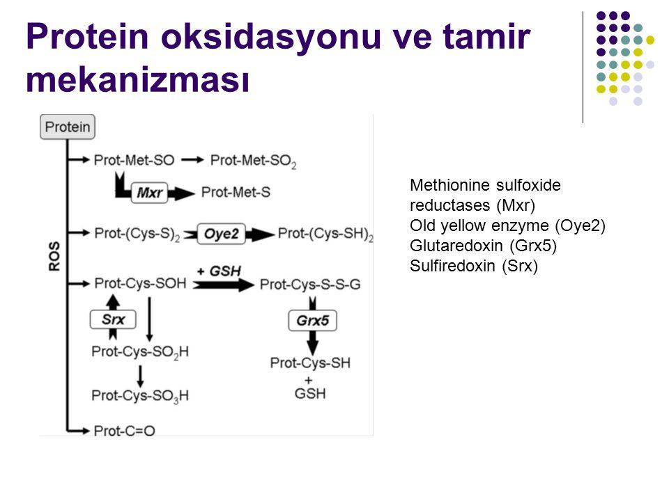 Protein oksidasyonu ve tamir mekanizması